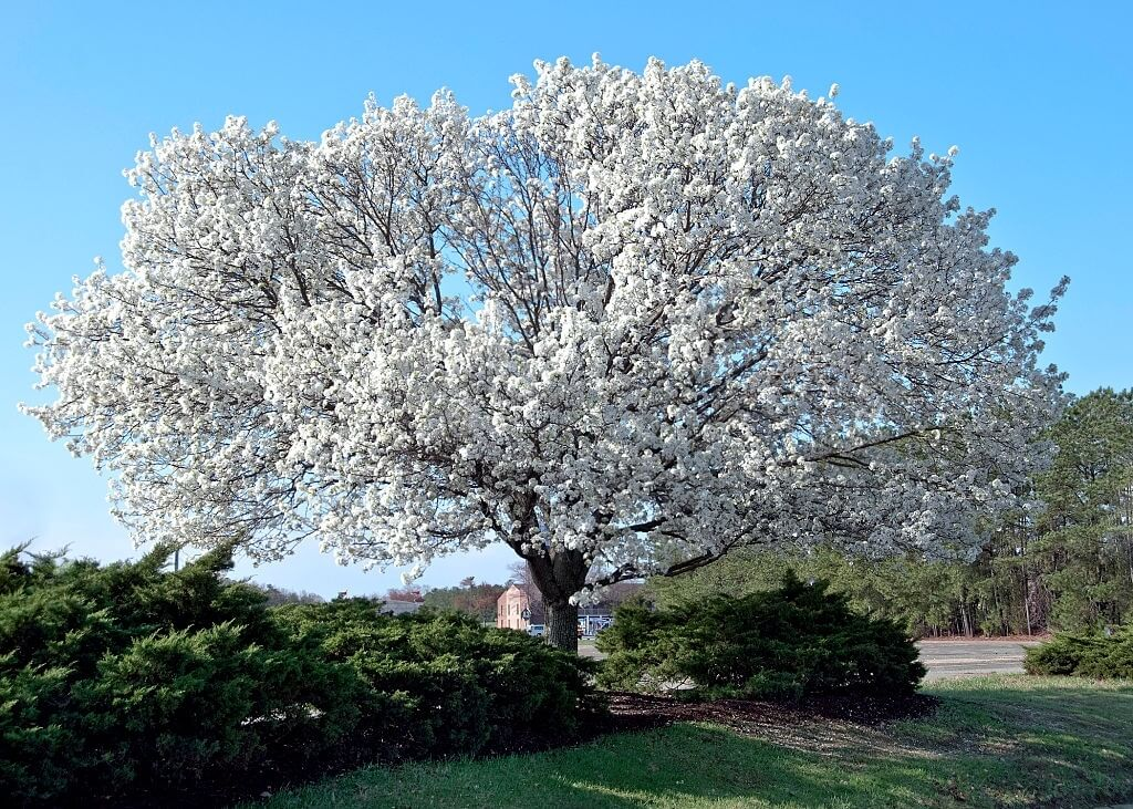popular backyard tree - Big Easy Landscaping
